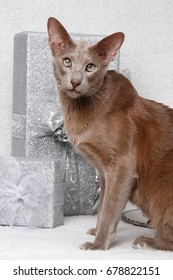 Oriental Shorthair with christmas packages