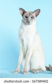 Oriental siamese cat sitting on a light blue background.