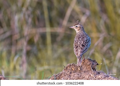 The Oriental skylark (Alauda gulgula), also known as the Oriental lark or small skylark