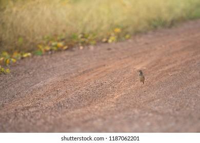 Oriental Skylark bird