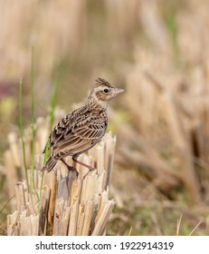 Oriental skylark.The Oriental skylark, also known as the small skylark, is a species of skylark found in the southern, central and eastern Palearctic.