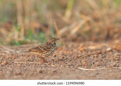 Oriental Skylark  on the ground