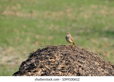 Oriental skylark or small skylark  singing on the dead palm tree root with copy space for text