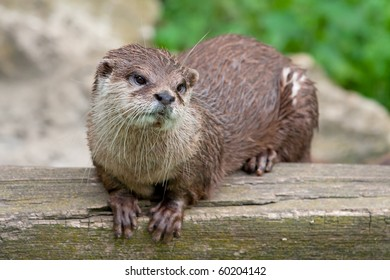Oriental Small Clawed Otter (Aonyx cinereus)