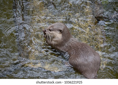 Oriental small-clawed otter (Aonyx cinerea) in water