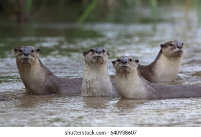 Oriental small-clawed otter, Asian small-clawed otter