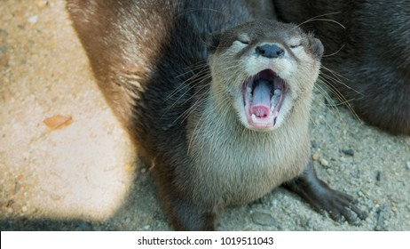 oriental small-clawed otter, Asian small-clawed otter (Aonyx cinereus) open mouth, closeup shot