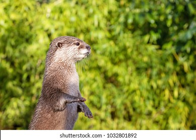 Oriental small-clawed otter standing on his hind legs. This is the smallest otter species in the world and is indigenous to the welands of South and Southeast Asia.