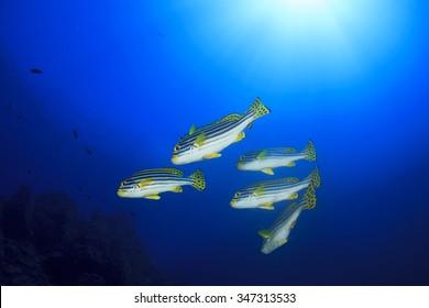 Oriental Sweetlips fish school coral reef underwater