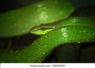 Oriental whip snake, green viper in Singapore Zoo