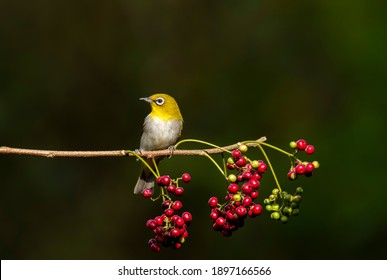 Oriental white eye birds sitting on a small twig in the bushes and waiting for their turn to eat fruits in the outskirts of bangalore