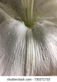 Oriental white lily flower is beautiful with white wall and shadow shade. Close up lily