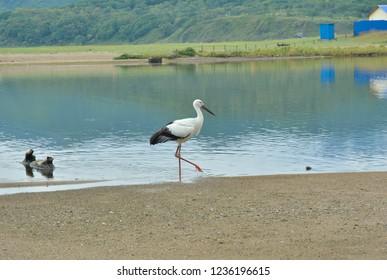 The Oriental white stork (Ciconia boyciana) at sea.
