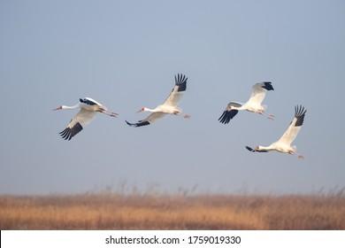 oriental white stork, poyang lake national nature reserve in jiangxi, China