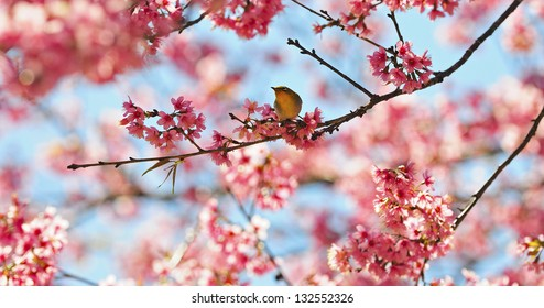 A Oriental White-eye bird, standing on the Wild Himalayan cherry blossom, taken in Thailand