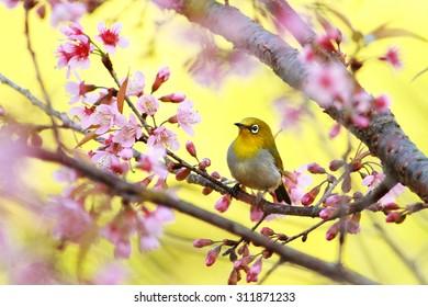 Oriental white-eye (Zosterops palpebrosus),small passerine bird, on  branch of Sakura tree, Thailand.