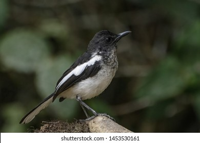 Oriental-magpie robin ( Copsychus saularis ) in the jungles of Fraser's Hill in Pahang, Malaysia.