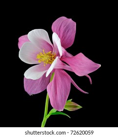 """""""Origami Red & White"""" Columbine (Aquilegia) Ranunculaceae - Studio Image"""