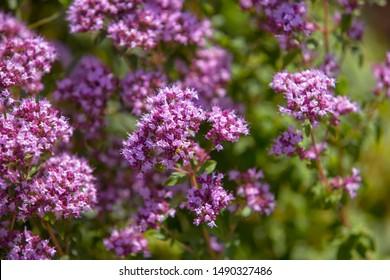 Origanum (oregano) vulgare in garden. Flowers of origanum vulgare, natural background.