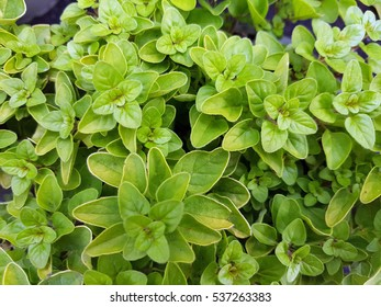 Origanum, vulgare; Aureum