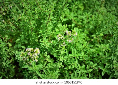 Origanum vulgare with flowers in the city field