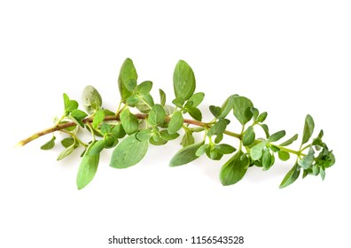 Origanum vulgare in front of white background