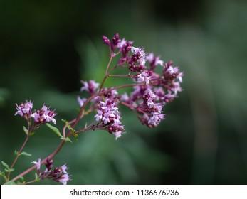 Origanum vulgare medicine herb in field. Purple flowers of origanum vulgare or common oregano.