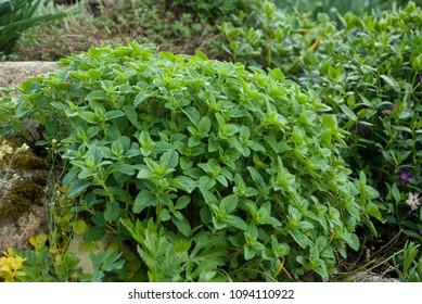Origanum vulgare (oregano) young plant in the rock garden, late spring (early summer) season