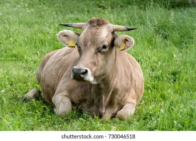 Original Brown Cattle