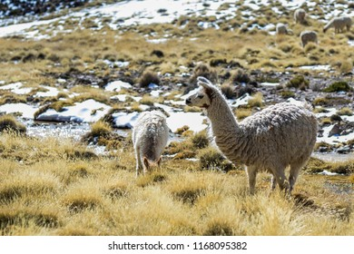 The original camel from the Andes, The Lama is an andean animal that lives in high altitudes like the Andes Altiplano. Lauca National Park, Arica, Chile