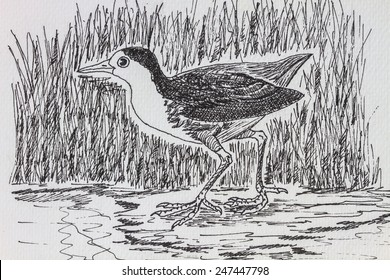 The original drawing of birds on white paper, White-breasted Waterhen