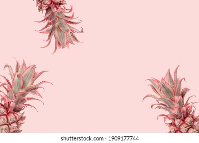 Original holiday Exotic flowers Dwarf Ornamental Pineapple on pink background. Trendly unusual plant for romantic holiday. Minimal style.