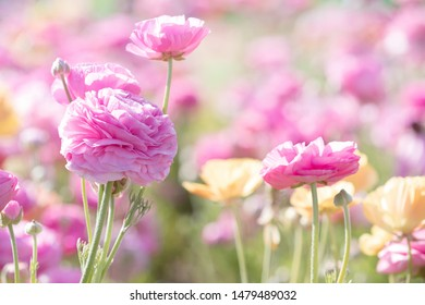 Original photograph of a field of pink and yellow Ranunculus flowers