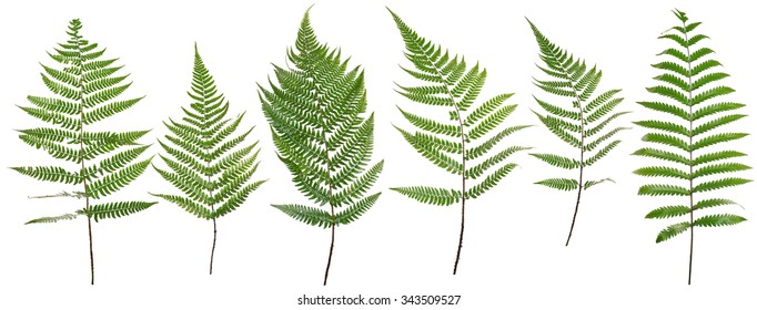Original size Collected Leaf fern isolated on white background of close-up