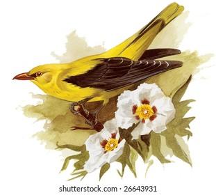 An original watercolor painting (by myself as the artist) of a Golden Oriel bird.