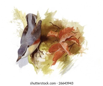 An original watercolor painting (by myself as the artist) of a Nuthatch bird.