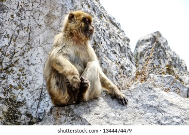 Originally from the Atlas mountains and the Rif mountains of Morocco, the Barbary macaque population in Gibraltar is the only wild monkey population on the European continent