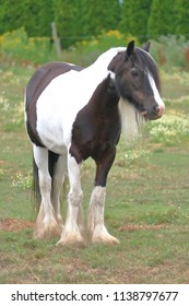 Originating from Scotland, the front view of a young adult Clydesdale horse.