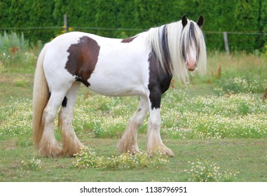 Originating from Scotland, the right profile view of an adult Clydesdale horse.