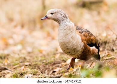 The Orinoco goose - Neochen jubata in the fall autumn warm colours