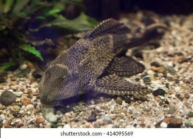 Orinoco sailfin catfish (Pterygoplichthys multiradiatus), also known as the pleco. Wild life animal.