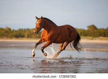 orlov trotter horse on the beach