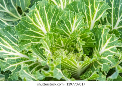 ornamental cabbage plant