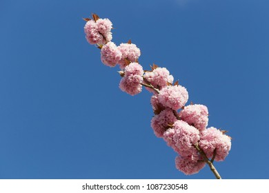 Ornamental cherry blossom in spring 2018