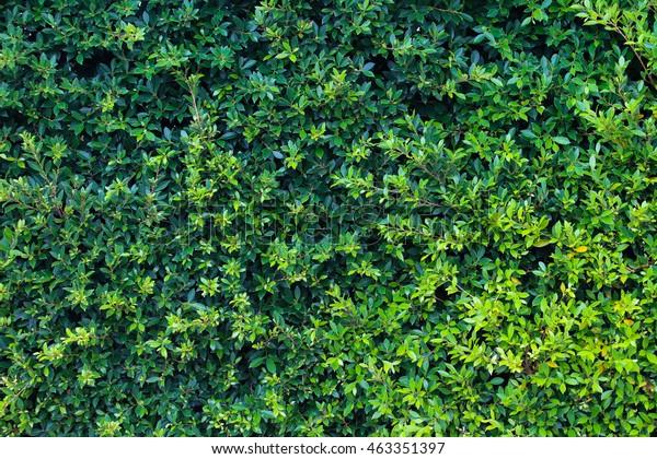 Ornamental Climbing Plants On Fence Stock Photo Edit Now 463351397