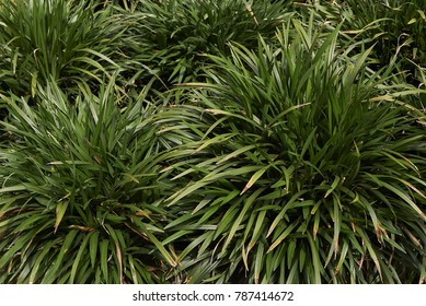 ornamental evergreen plant