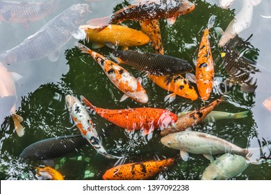 Ornamental fish in pond in China
