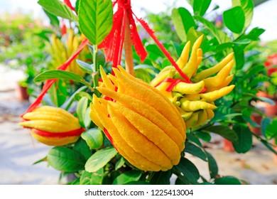 Ornamental flower fingered citron