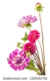 Ornamental flowers of dahlia isolated on a white background