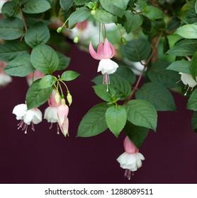 Ornamental Fuchsia Hybrid Flowers Against a Deep Wine or Purple Colored Background